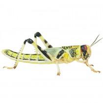 Livefood Locusts Bulk
