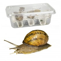 Snails Pre-Pack  12 x Small