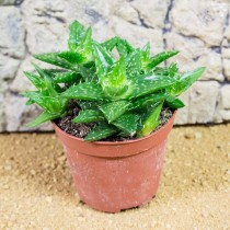 ProRep Live Plant Aloe squarrosa 8.5cm pot