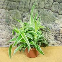 ProRep Live Plant Chlorophytum comosum 10cm pot