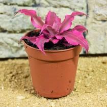 ProRep Live Plant Cryptanthus red star 5.5cm pot