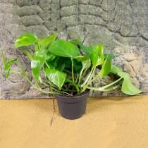 ProRep Live Plant Epipremnum aureum 6cm pot