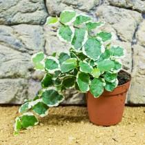 ProRep Live plant Ficus pumila 5.5cm pot