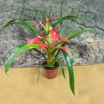 ProRep Live plant Bromeliad Large Various Sp 9cm pot